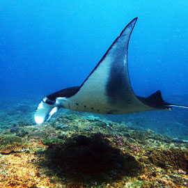 Graceful Manta ray gliding over the colourful coral reef, capture on one of ours Bali diving packages