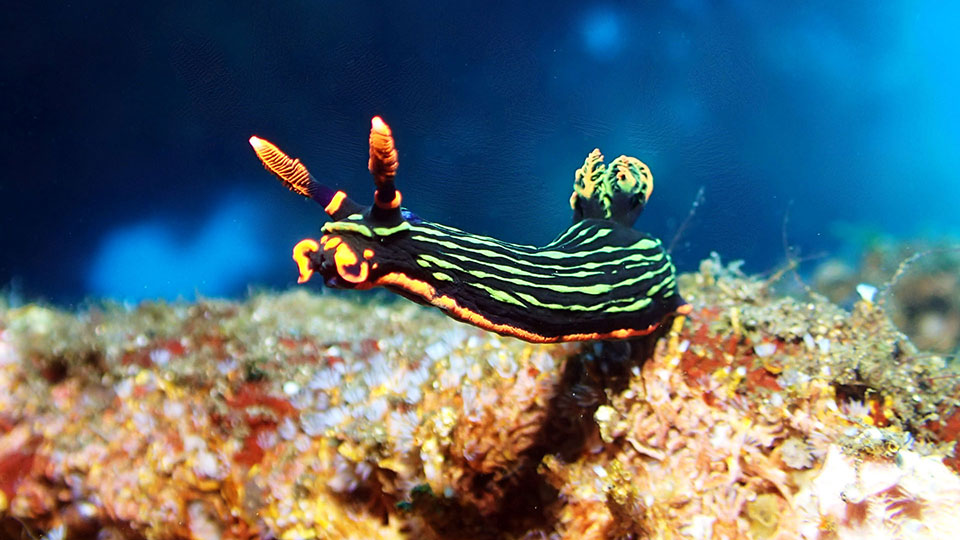 green and orange sea slug also known as nudibranch heading of his usual path into the blue