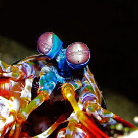 The most curious and developed eyes of a mantis shrimp captured with an amazing underwater photo camera